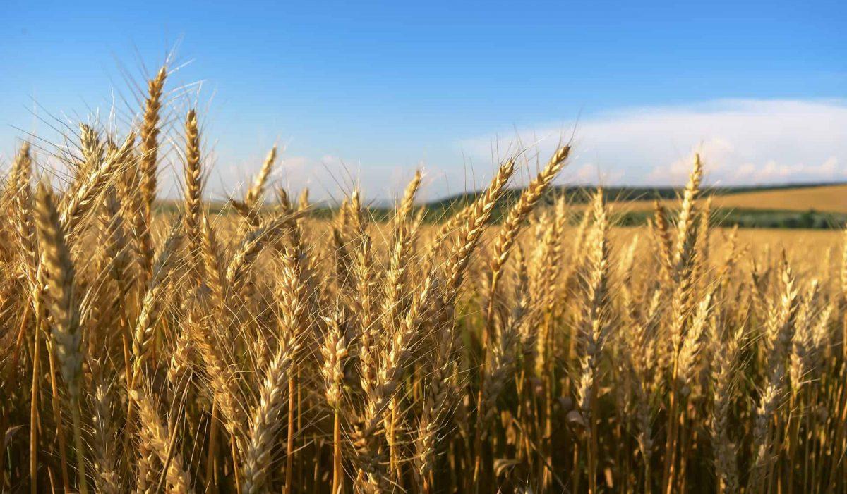 Българско поле с пщеница